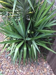 Yuccas Aberglasslyn Maitland Area Preview