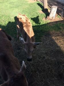 Cattle Bukkulla Inverell Area Preview