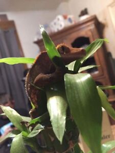 2 crested geckos. 1 female and 1 male.