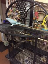 Indian Ringneck wanted Gordonvale Cairns City Preview
