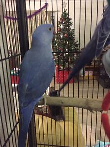 Hand raised Indian ringnecks Caboolture Caboolture Area Preview