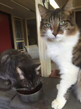 Two cats, Arthur & Merlin Medowie Port Stephens Area Preview