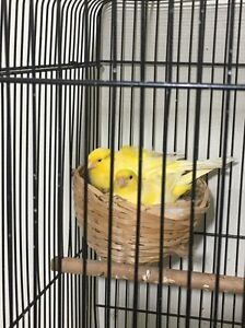Canaries for sale starting from $25 each Punchbowl Canterbury Area Preview