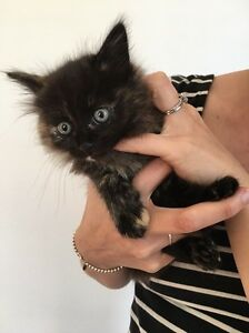 Kittens for sale Mitchelton Brisbane North West Preview
