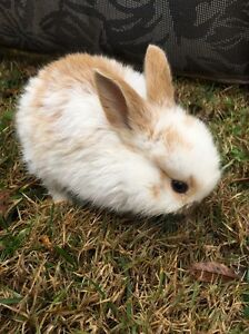 Rabbits for sale. Murray Bridge Murray Bridge Area Preview