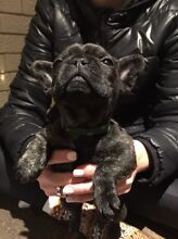 French Bulldog female pure breed Sydney City Inner Sydney Preview