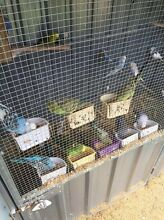 English Show Budgies for sale Seven Hills Blacktown Area Preview