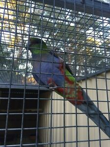 Young handreared pair of red cap parrots Medowie Port Stephens Area Preview