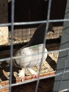 Female pigeon Fairfield Heights Fairfield Area Preview