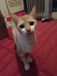 Rescue cat cinnamon, all vet work done Port Adelaide Port Adelaide Area Preview