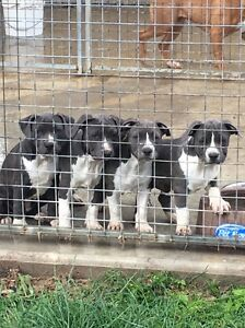 Purebred Blue American Staffy / Amstaff Pups McGraths Hill Hawkesbury Area Preview