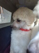 Standard poodle pups Newcastle Newcastle Area Preview