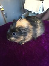 Two female Guinea pigs $30 for both Cambridge Gardens Penrith Area Preview