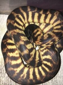 Pythons for sale/swap Carindale Brisbane South East Preview