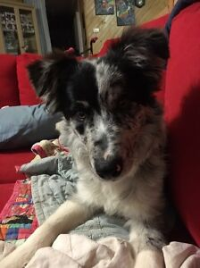 Male border collie pup Neilborough Bendigo Surrounds Preview