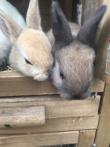 Baby rabbits Lismore Lismore Area Preview