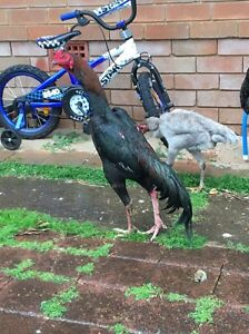 Shamo hen with chooks Ingleburn Campbelltown Area Preview