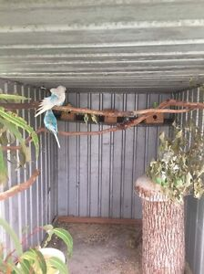 Budgies and aviary Newcastle Newcastle Area Preview