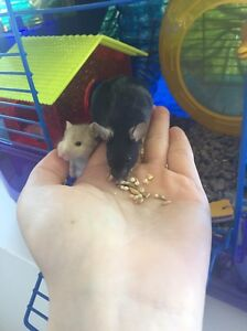 Pet mice with mouse cage and accessories Rhodes Canada Bay Area Preview