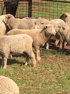 Lamds ewe and weathers Balaklava Wakefield Area Preview
