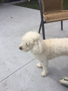 Wanted small breed girl dog cross poodle The Entrance Wyong Area Preview