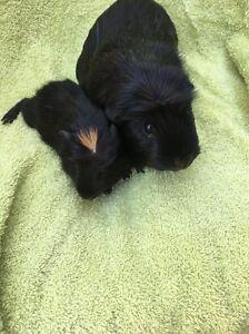 Guinea pigs avail $10 each Cambridge Park Penrith Area Preview