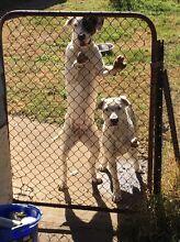 Pups for sale Armidale Armidale City Preview