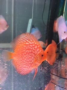 - HIGH PENANG grade CHEN DISCUS tropical fish -JULY ARRIVAL Como South Perth Area Preview