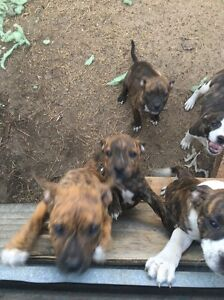 Staffy X Inala Brisbane South West Preview
