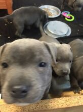 Blue English Staffies pure bred Casula Liverpool Area Preview