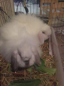 2x Angora Cross Rabbits Edithvale Kingston Area Preview