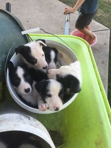 Purebred border collie pups Rosewood Ipswich City Preview