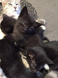 10 week old Kitten giveaway Hillcrest Port Adelaide Area Preview