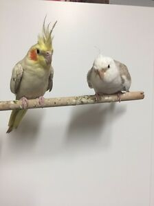 Hand raised pair of breeding cockatiels!!! Mount Druitt Blacktown Area Preview