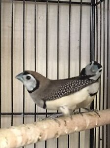 Double bar finches Riverstone Blacktown Area Preview