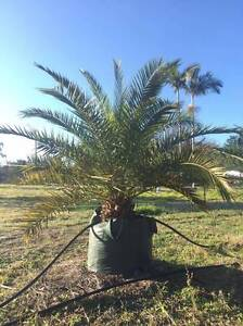 150ltr Canary Island Date Palms Greenbank Logan Area Preview