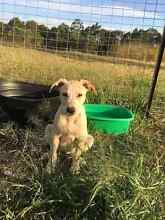 Puppies available for adoption Taree Greater Taree Area Preview