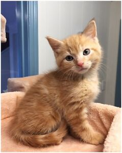 Adorable Ginger Kitten Needs Home! EATONS HILL VET Eatons Hill Pine Rivers Area Preview