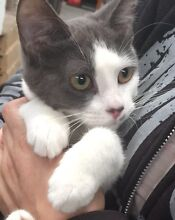 Gorgeous friendly, playful, cuddly rescue kittens South Penrith Penrith Area Preview