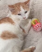 Gorgeous friendly, quiet but playful rescue kitten South Penrith Penrith Area Preview