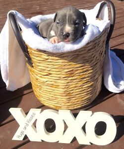 Purebred Blue American Staffies / Amstaffs Puppies Oakville Hawkesbury Area Preview