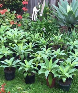 Plants For Sale * Agave Plants * Hoppers Crossing Wyndham Area Preview