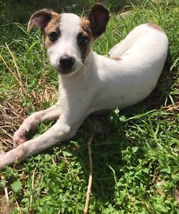 Whippet puppy desexed, microchipped, vaccinated Cranbourne West Casey Area Preview