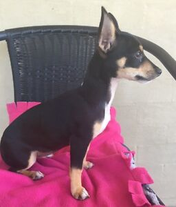 10 week old female Foxy x Chihuahua Bellmere Caboolture Area Preview