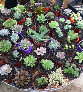 Succulents , Pick up Rossmore 2557 NSW Rossmore Liverpool Area Preview