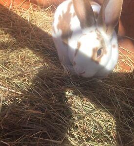 Purebred Female Rex Rabbit! Launceston Launceston Area Preview