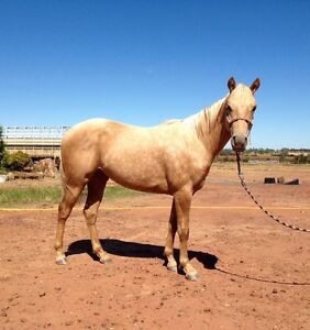 Palomino Gelding (child/youth pony) Clermont Isaac Area Preview