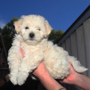 Shmoodle puppy for sale