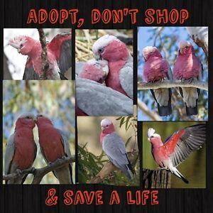 AVIARY GALAHS FOR ADOPTION Carine Stirling Area Preview
