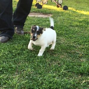 Jack Russell Puppy for sale Hay Hay Area Preview